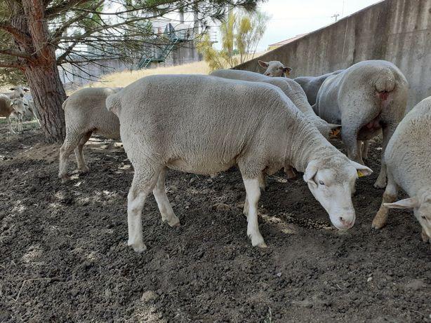 Ovelhas e borrego