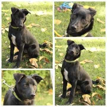 Полугодовалый крупный щенок Бонни, привита и стерилизована