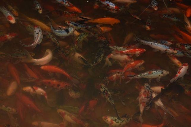 Ryby do oczek wodnych, sprzedaż, hodowla: karp koi, karaś ozdobny