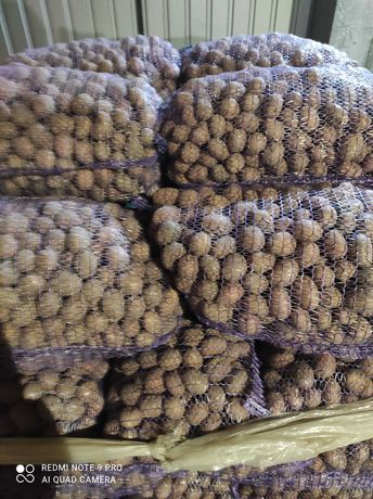 Do sprzed ziemniaki bellarosa wielkośc sadzeniaka i mniejsze i paszowe
