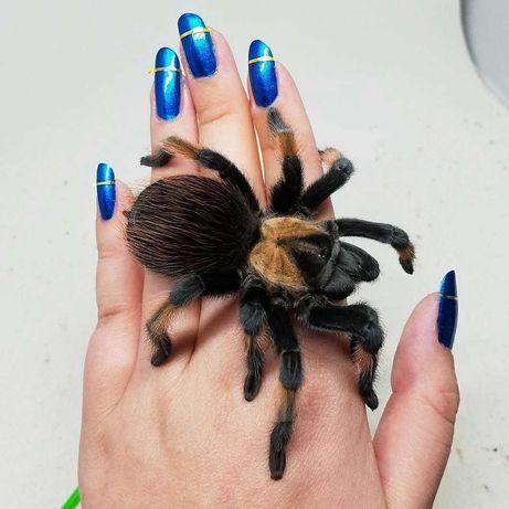Самки птицееды пауки Brachypelma emilia для новичков