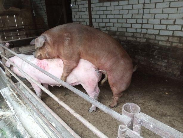 Поросна свиноматка