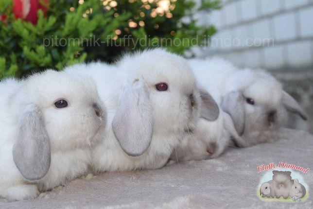 Сиамские  вислоухие крольчата из известного питомника. Элитный кролик