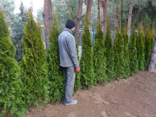160cm tuja SZMARAGD smaragd Transport PRODUCENT sadzenie