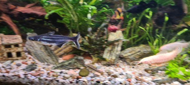 Sum rekini akwariowy