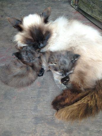 Милые котята .полукровки