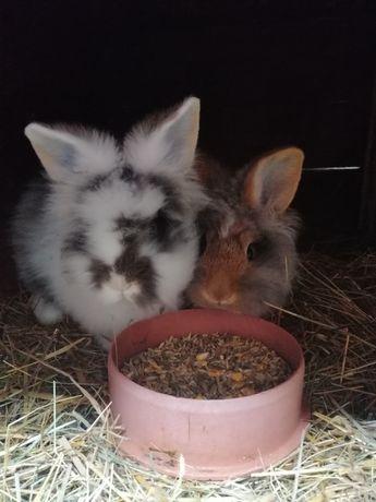 Lew olbrzymi, olbrzym grzywacz króliki, samica, para niespokrewniona