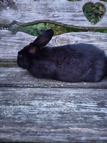 Продам молоді кролички