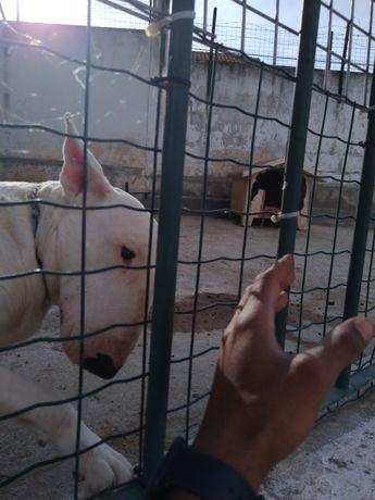 Fêmea para cruzar Bull Terrier