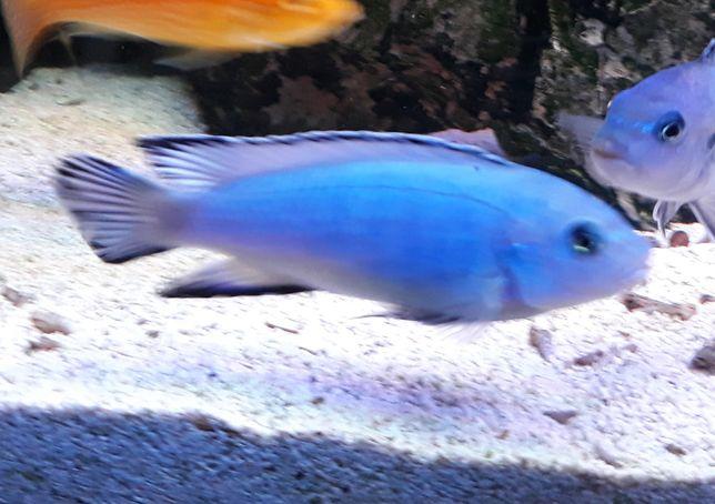 Pyszczak niebieski, Pseudotropheus socolofi
