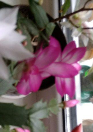 Продам квіти різдвяника