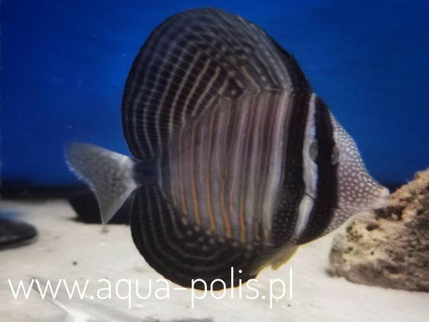 Zebrasoma desjardinii M akwarystyka morska