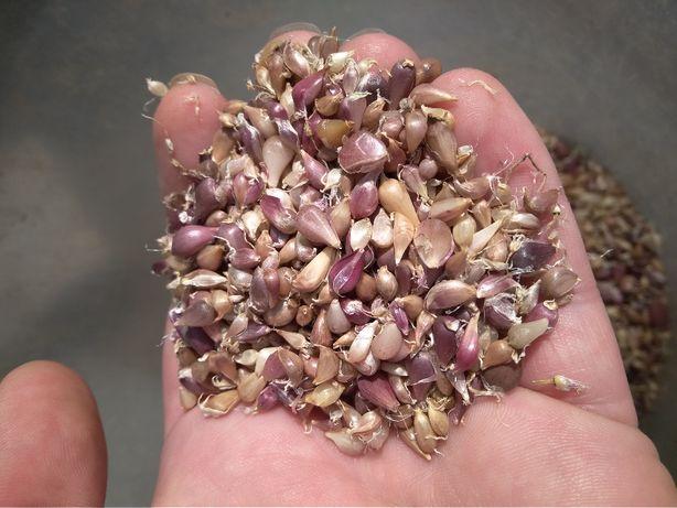 Семена чеснока озимого урожай 2020 года