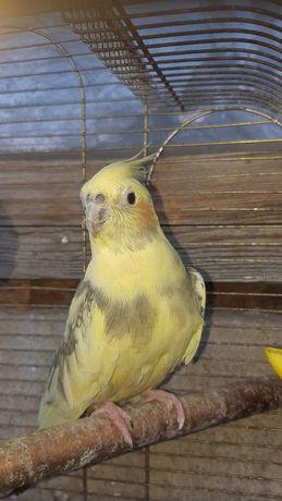 Попугай корелла самка продам или обменяю