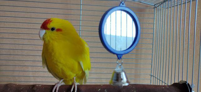 Попугай Какарик молодой