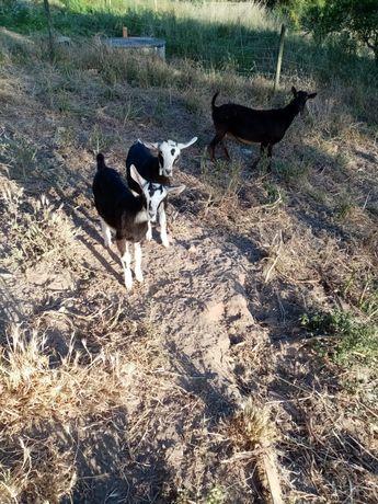 Cabra com dois Cabritos