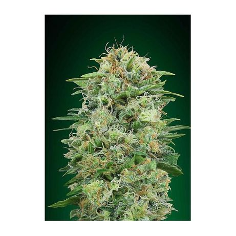 Mary Jane | Nasiona marihuany THC - White Widow Auto