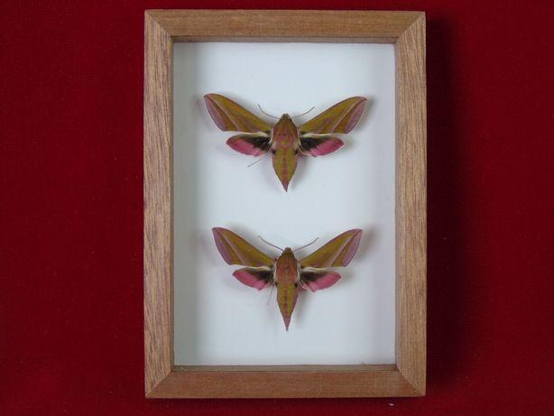 Motyle w ramce 10 x 14 cm.Deilephila elpenor. Para .