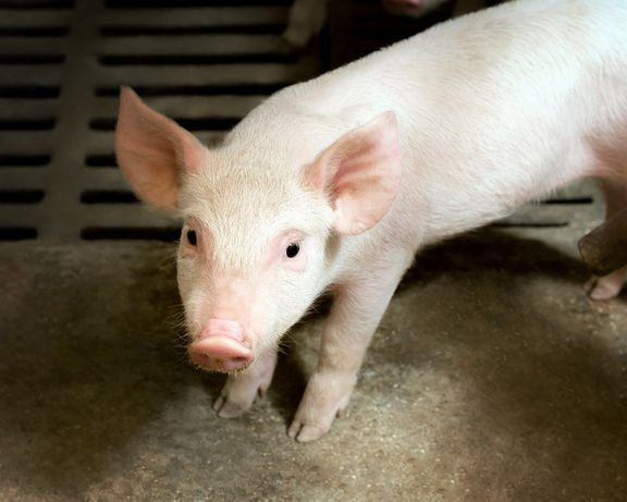 Продам порося, свиню
