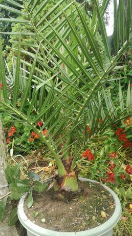 Palmeira De Jardim (Fénix ou tamareira)