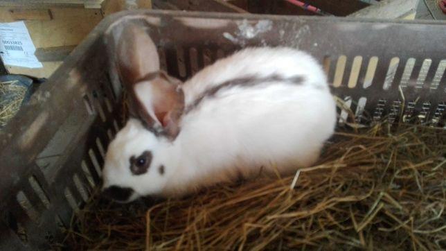 OSH Olbrzym Srokacz Hawana młode króliki para niespokrewniona