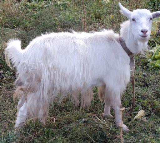 Продам козу , не дойная и не гуленная