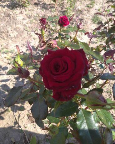 Саженцы роз, саджанці троянд