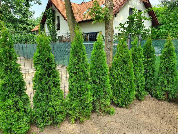 Piękne drzewko na żywopłot TUJA Thuja SZMARAGD wys. 180-200 cm!HIT!