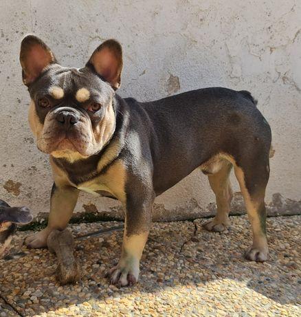 Bulldog Francês Blue Tan