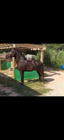 vendo cavalo preto