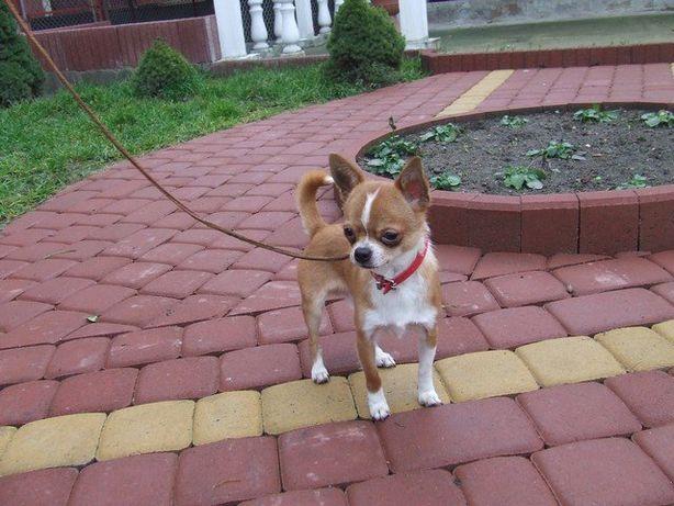 Chihuahua suczka i piesek długowłose białe - rozsądną cena