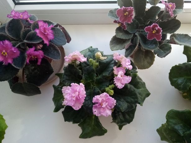 Продам фиалки цветущие по 50грн