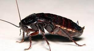 Туркменский таракан (Shelfordella tartara)
