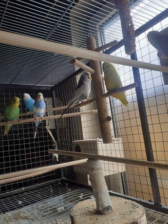 Papużki faliste Sprzedam pary