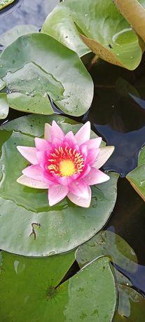 Lilie wodne kwitnące