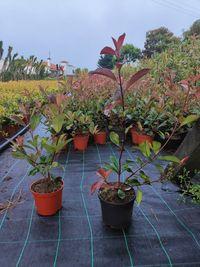Photinia Red Robin - 60/70cm 2.5L
