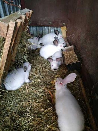 Sprzedam króliki kalifornijskie i termondzkie