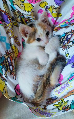 Чудесные котятки ищут семью! Домашние, чистенькие, ласковые, игривые!