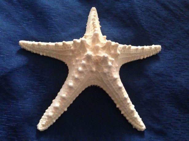 морская звезда большая 25 см.
