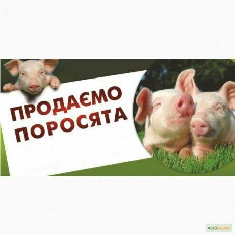 Поросята, свині, підсвинки.
