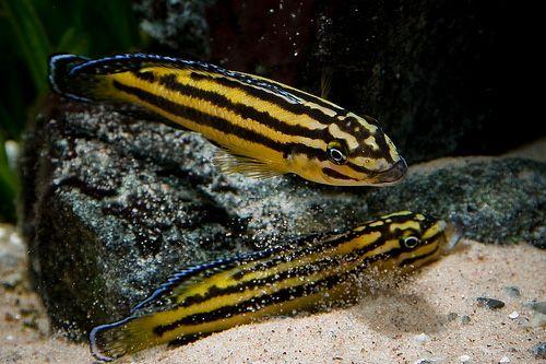 Julidochromis marksmitii kipili