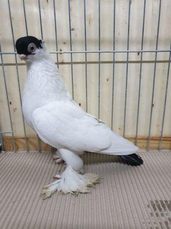 Gołąb ozdobny krymek czarny samiec 2020 gołębie krymka białostocka