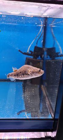 Ryba akwariowa nadymka   kolcobrzuch