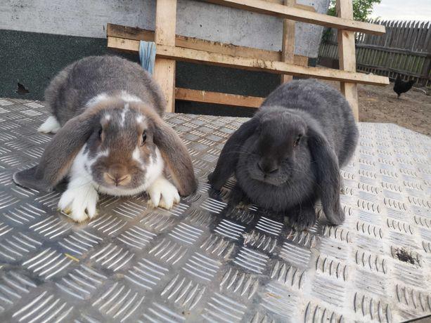 SAMICE króliki barany francuskie