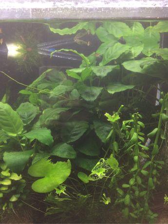 Anubia (planta para aquario)