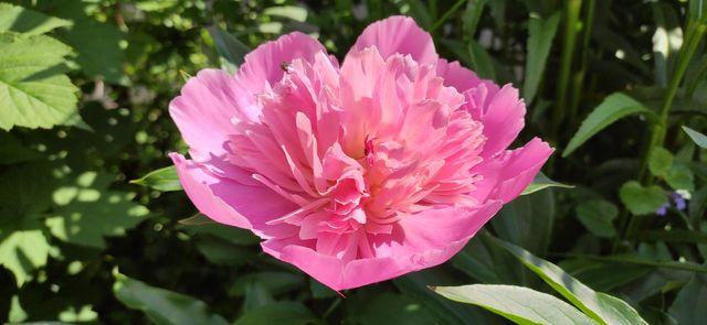 Пион травянистый розовоцветковый