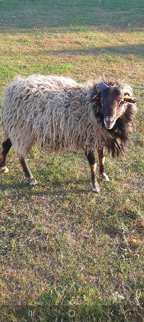 Owca wrzosówka-baranek