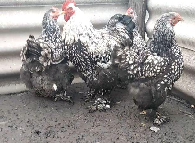 Продам инкубационное яйцо от кур породы Кохинхин Серебро