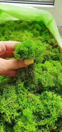 Стабилизированный мох, ягель, норвежский мох, от 100 грамм