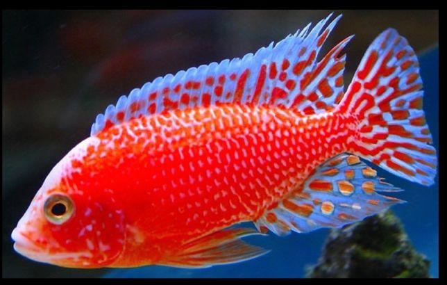 Aulonocara Fire fish 3-4cm